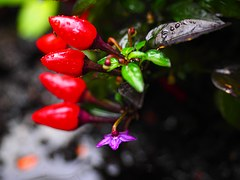 ornamental-peppers-694041__180